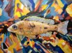 Sold. Moo, African Cichlid, Acrylic